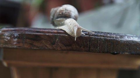 Snail Creeps Through The Board In The Garden. Wood Board.