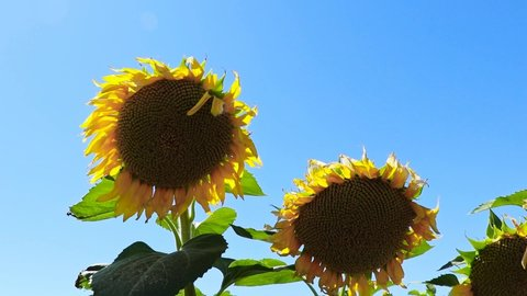 seed processing sunflower seed growing natural plant grows as industrial plant in agricultural field. agriculture worker sunflower picking time sunflower rubbing yellow sunflower seeds emerges