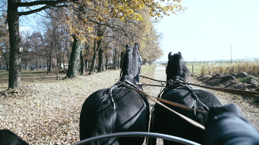 Coach ride in fall with two Friesian slow motion. POV of the horses in focus pulling the coach/carriage while coachmen steering with reins. Driving beside the forest. | Shutterstock HD Video #1035343142