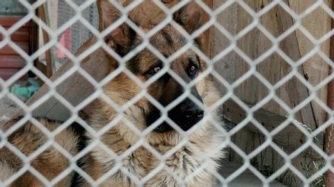 A sad dog sits locked in a metal cage. German Shepherd. He blinks. View through a metal grid. Face shot.