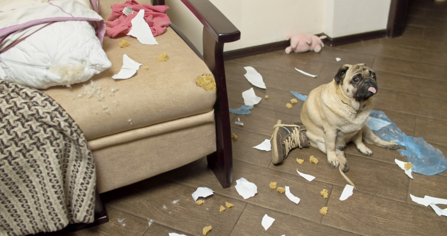Pug dog made a home mess, left alone, nibbled the sofa. Without the owner. Guilty funny face. Bad Dog Behavior. Damage, spoiled furniture. Scattered things around the apartment. Gnawed, chewed stuff | Shutterstock HD Video #1035617582