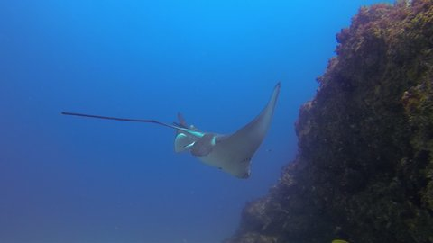 Eagle Ray Stingrays Or White Spotted Sea Rays. Close Up Of Spotted Eagle Rays Swimming & Gliding In Deep Blue Sea Over Sand Sea Floor. Under water Close Up Of Australian Rays Marine Life