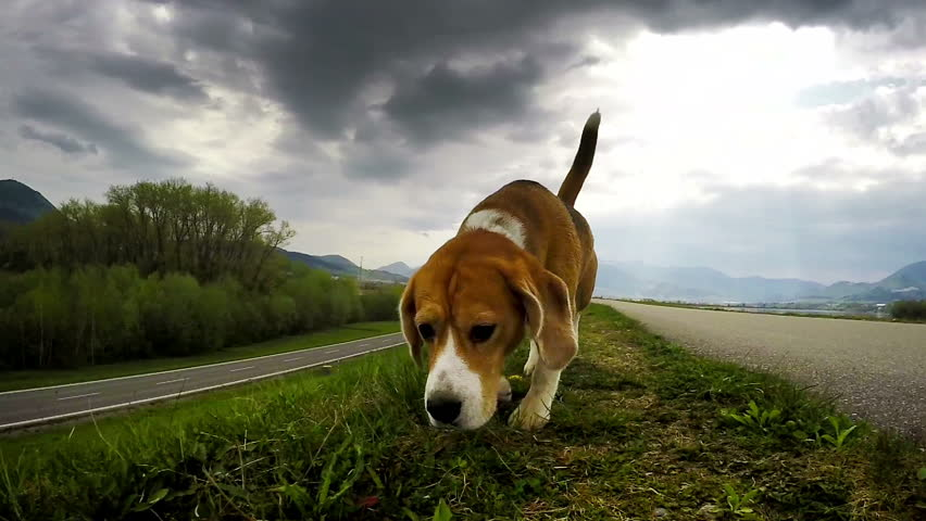 Amazing Video Beagle Adorable Dog - 4  Pictures_924753  .resize(height:160)