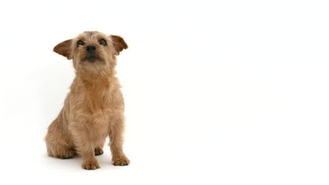 Norfolk terrier dog waiting for food against white background