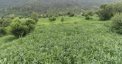 Kashmir agriculture farms crops and corn fields