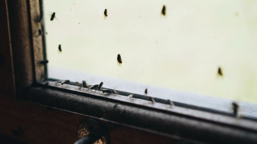 Close-up of the window with lots of flies. Close up. Many insects. | Shutterstock HD Video #1036463792
