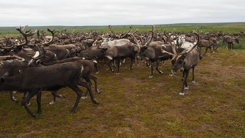 A herd of reindeer in the tundra in the summer on the Yamal Peninsula, close-up. Western Siberia, Russia. Camera in the middle of herd, reindeers running