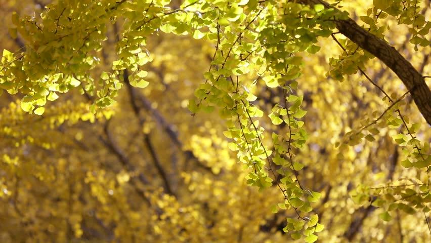 Autumn leaves fluttering in the wind | Shutterstock HD Video #10365032
