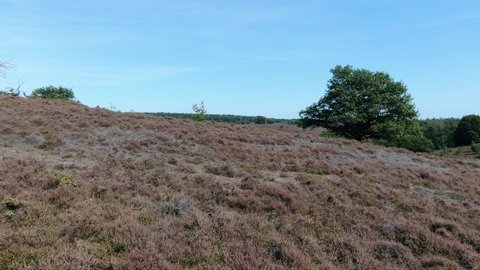 4k aerial video flying over hill revealing the landscape behind it with purple blossoming heath