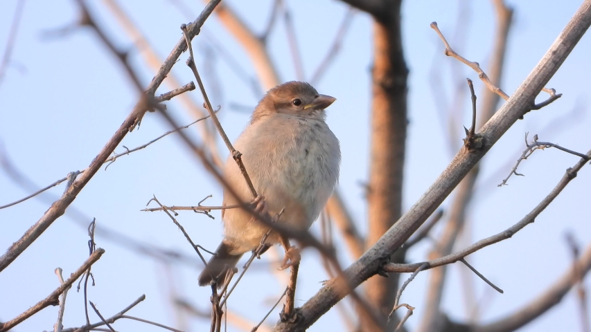 Sparrow sitting on a branch early morning | Shutterstock HD Video #1036804562