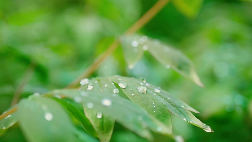 Green leaves with dew on a spring bush after the rain. Spring mood background #1036889432
