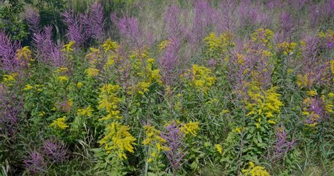Amos, Québec/Canada 08-24-2019: Fields invaded by the Purple Loosestrife   (real name of  Lythrum salicaria)  and Grey-stemmed Goldenrod (real name Solidago nemoralis) in Abitibi.