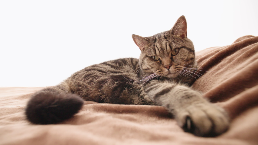 Person hand petting the cat on bed 4K. Static wide shot of British cat on bed rest on bed while a hand petting it. | Shutterstock HD Video #1036954802