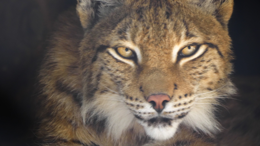 Lynx looks with predatory eyes from the shelter | Shutterstock HD Video #1037147072