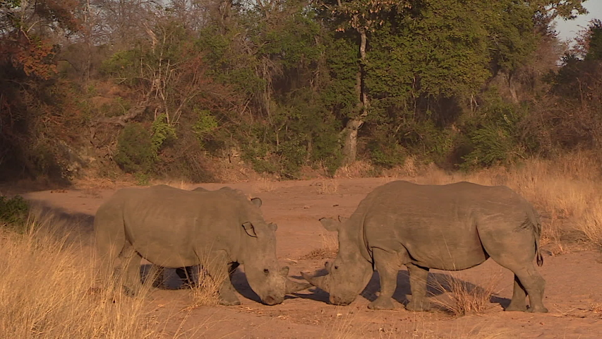 White Rhinos have a territorial dispute as they butt heads in a riverbed at the Greater Kruger National Park in Africa. | Shutterstock HD Video #1037156642