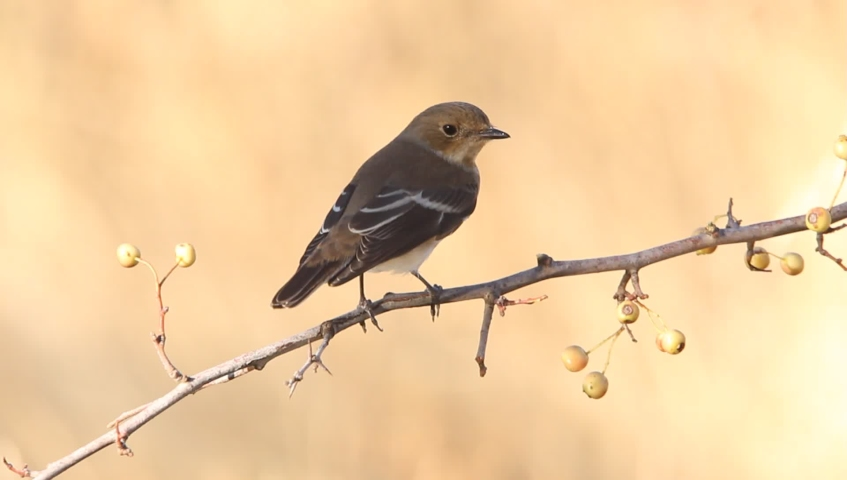 Pied flycatcher, ficedula hypoleuca, birds,animals | Shutterstock HD Video #1037194682
