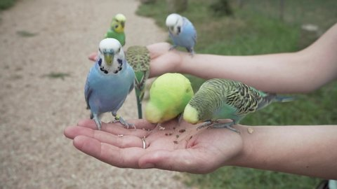 Many lovely Budgerigar Parrots (Melopsittacus undulatus) flying and eating seeds in lady hand, close up