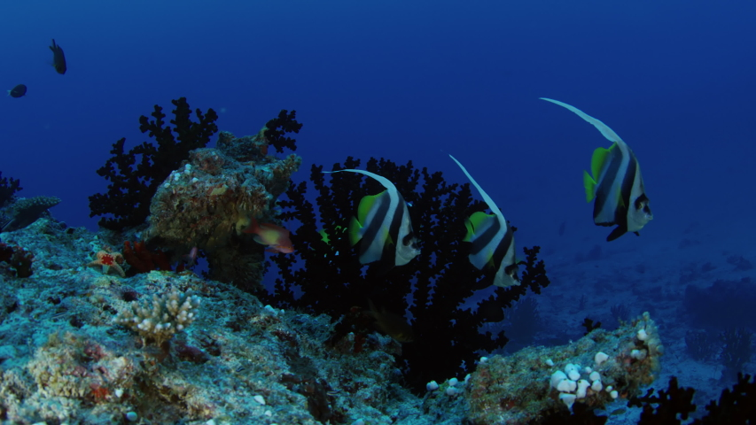 Closeup of a Schooling bannerfish, Heniochus diphreutes, Maldives, Indian Ocean, slow motion | Shutterstock HD Video #1037267282