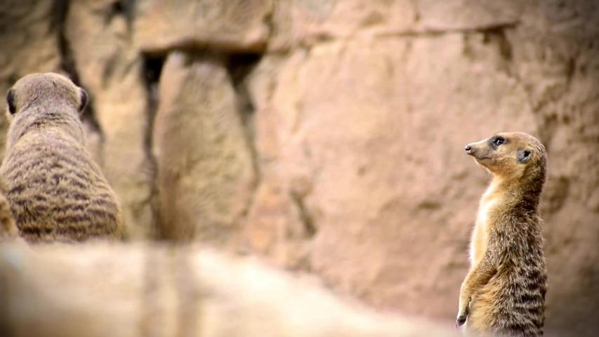 Group of Meerkats or Suricates (Suricata suricatta) standing on a rock taking turns to keep watch | Shutterstock HD Video #1037349002