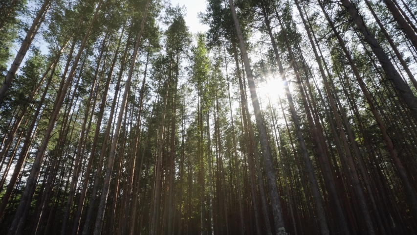 Sun Rays Shine Through Coniferous Pine Forest. Beautiful Autumn Nature | Shutterstock HD Video #1037477402