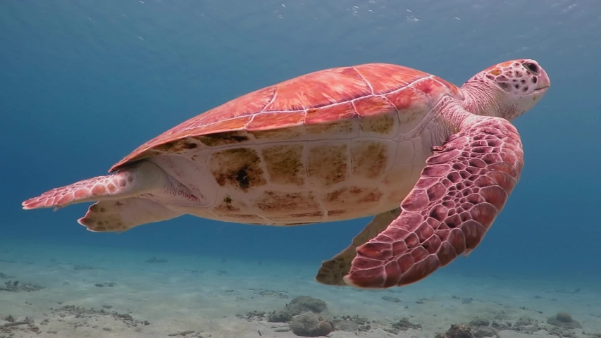 Underwater video from scuba diving with sea turtles. Swimming sea turtle and sandy bottom.  Wild ocean animal. Marine tropical life in the shallow water. | Shutterstock HD Video #1038067892