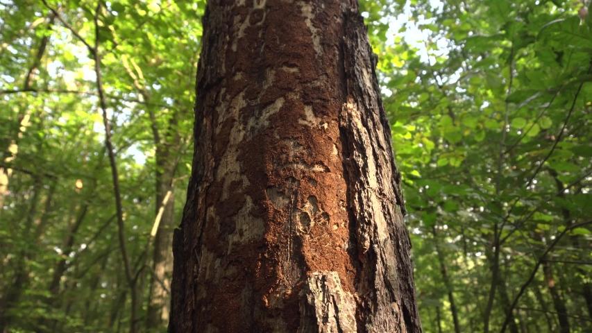 Pine tree eaten by bark bitle   Shutterstock HD Video #1038117692