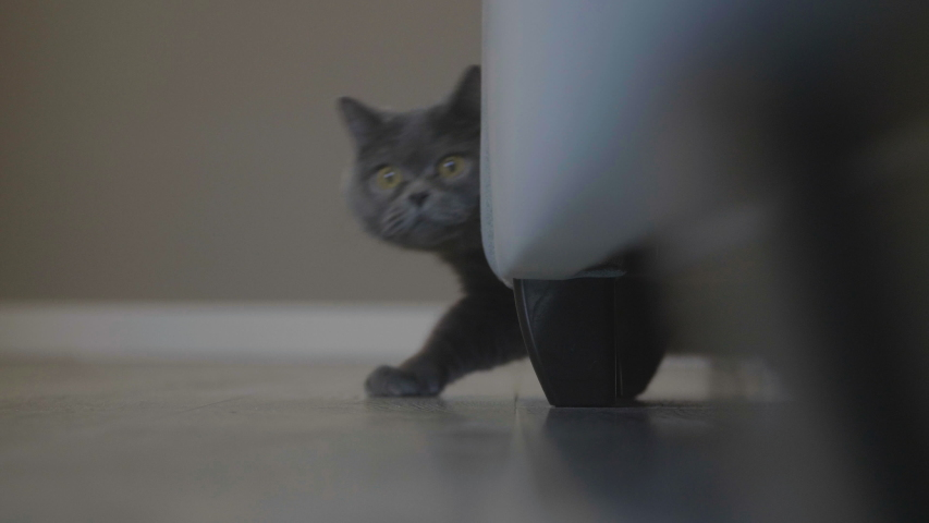 Cat hunt. Cat moving stealthily to attack trying to cought camera.  Domestic cat get ready to attack. Cat with big eyes peeps out the sofa. | Shutterstock HD Video #1038749192