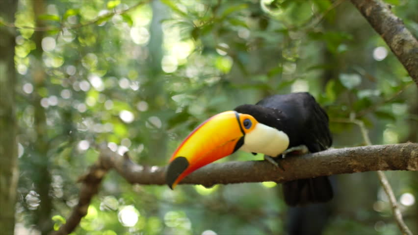 Exotic toucan bird taking flight, natural setting. | Shutterstock HD Video #10388909