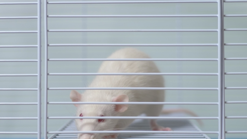 White rat in a cage. home pet. animal symbol of the year on the Chinese calendar. | Shutterstock HD Video #1039107122