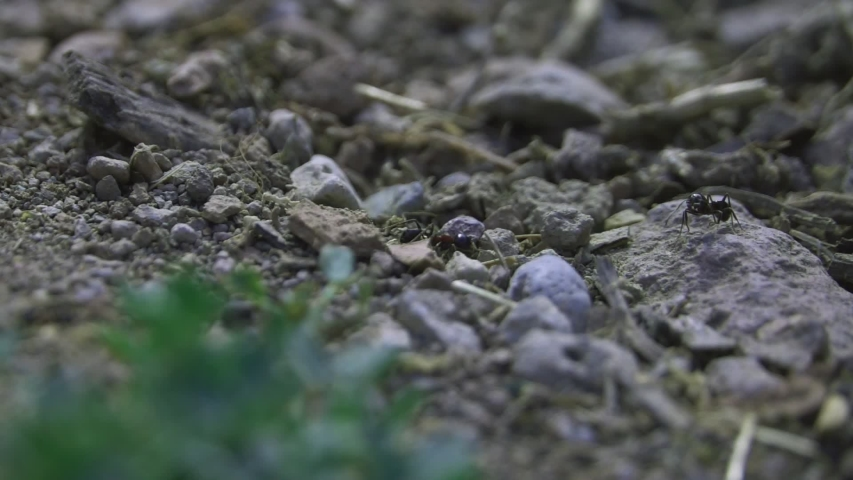 Black garden ant. Close up  anthill with colony of ants in summer forest   Shutterstock HD Video #1039416302