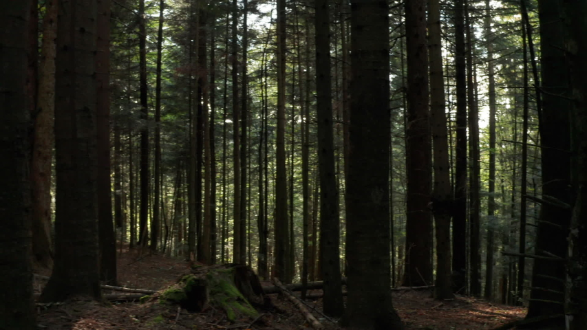 Wild pine forest . Moving between trees in beautiful sunny morning just after sunrise. | Shutterstock HD Video #1039905452