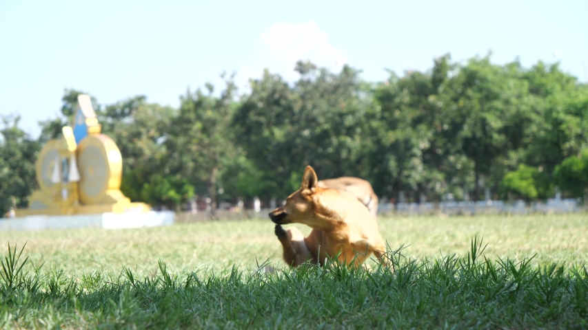 Mixed breed stray dog is scratching the itch on the grass.slow motion #1040014412