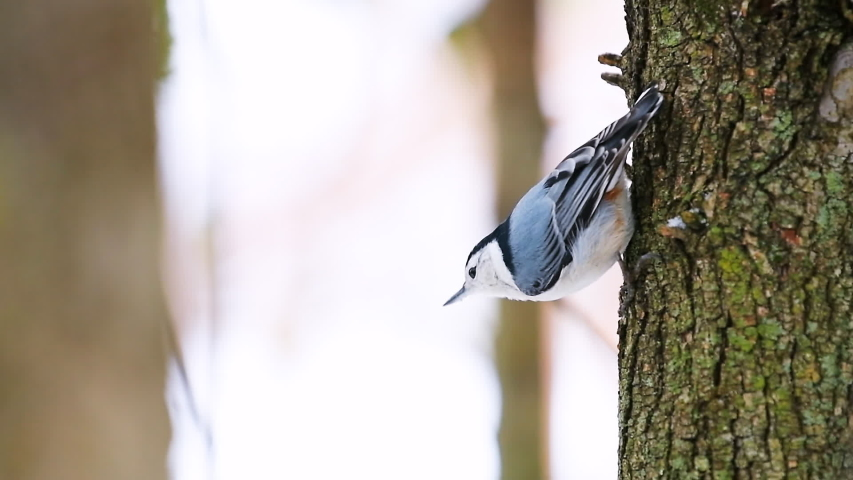 Closeup slow motion of one white-breasted nuthatch bird and falling sunflower seed from cache of tree trunk bark during winter snow snowing in Virginia | Shutterstock HD Video #1040567522