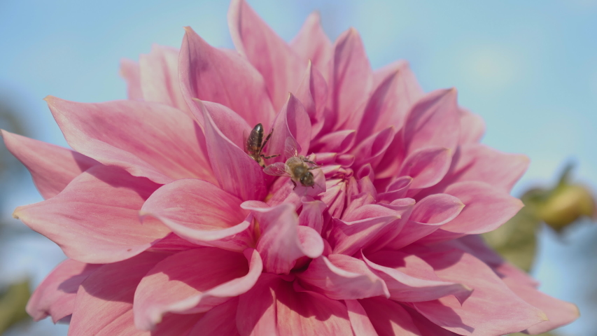 Two bees collecting nectar from a pink flower. Close-up   | Shutterstock HD Video #1040692322