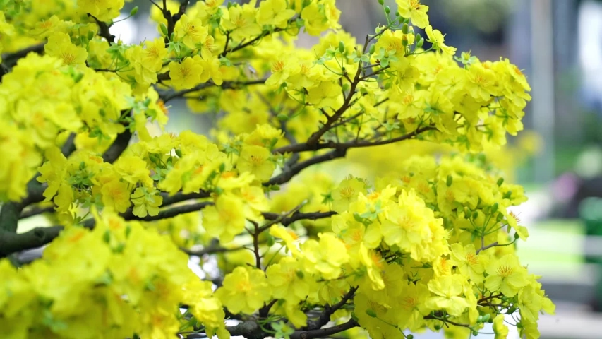 Hd00 59apricot Bonsai Tree Blooming With Yellow Flowering Branches