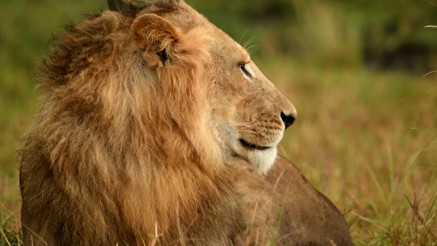 African Lions, Females, Males, family in Masai Mara  Kenya, East Africa #1041222832