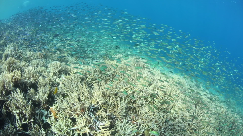 Schooling fish, mainly Fusilier damsels, thrive on a flourishing coral reef in Indonesia.  | Shutterstock HD Video #1041285292