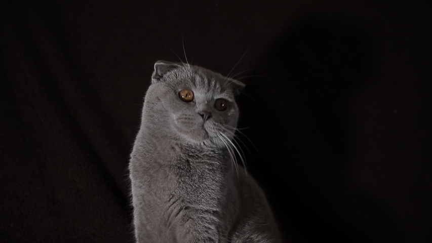 cute fluffy scottish fold cat #1041513442