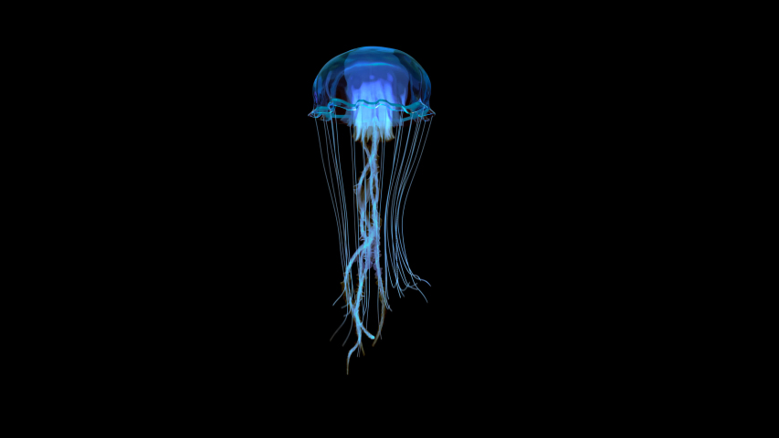 Blue jellyfish swimming in deep ocean shot on side view 4k footage with clean alpha channel You can see the enhanced detail and realism of the jelly fish, so the clips are usable for close-up shots