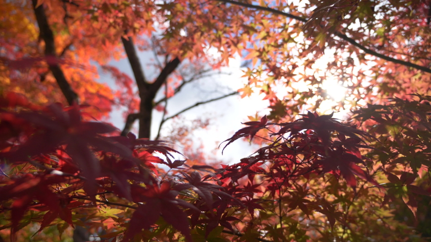 "Japanese ""Koyo"" maple leaves on a tree in autumn. 