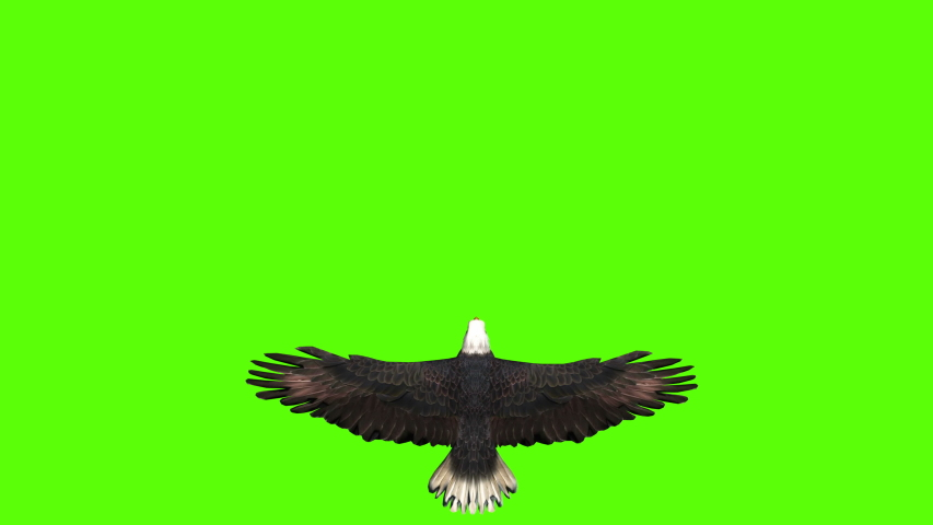 Bald Eagle in Top View on a Green Screen | Shutterstock HD Video #1043409712