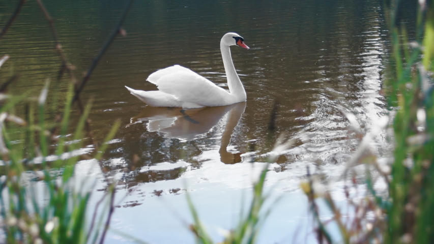 Close up white swan swimming on lake. Camera view of lonely swan on pond through grass. Closeup beautiful bird swimming on water at park.