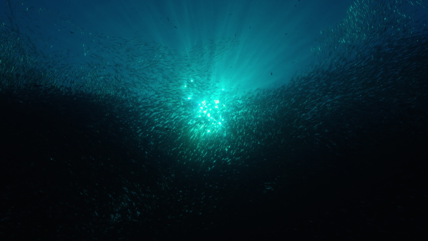Silhouette view of numerous fish. Shoal of Blacktip sardinella ripples and sways under pacific surface.  | Shutterstock HD Video #1044758302