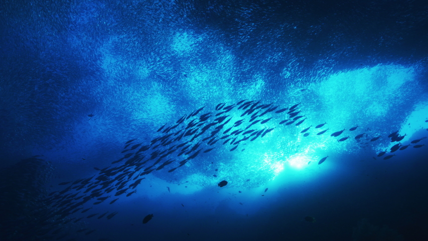 Silhouette view of numerous fish. Shoal of Blacktip sardinella ripples and sways under pacific surface.  | Shutterstock HD Video #1044758332