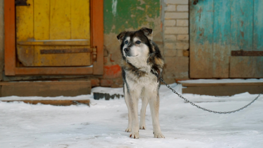 A dog on chains in winter near his wooden booth. | Shutterstock HD Video #1045457722