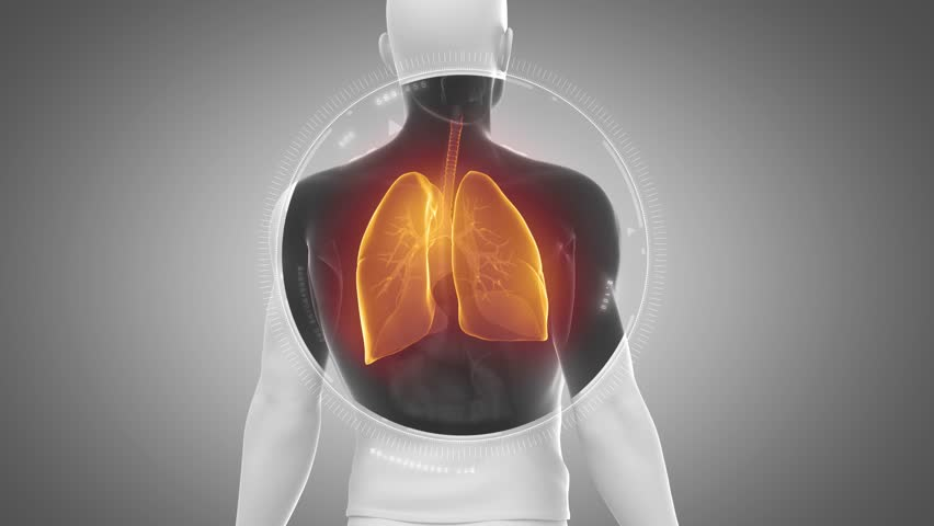 3D animation of LUNGS anatomy in loop