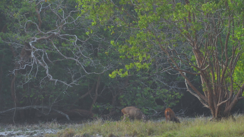 Herd of deer eating grass in forest afternoon sunshine Asia Thailand. Slow Motion   Shutterstock HD Video #1048524082