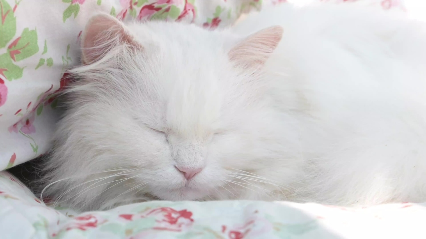 Beautiful, white, long-haired Persian cat, Ragdoll cat lies and sleeps on a flowery blanket   Shutterstock HD Video #1049244172