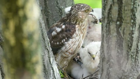 An adult coopers hawk takes several smacks to the head from a chick while sitting on the nest in a tree