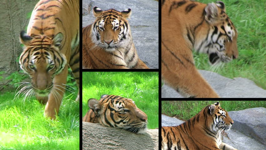 Montage of endangered siberian tiger yawning, prowling and hunting.